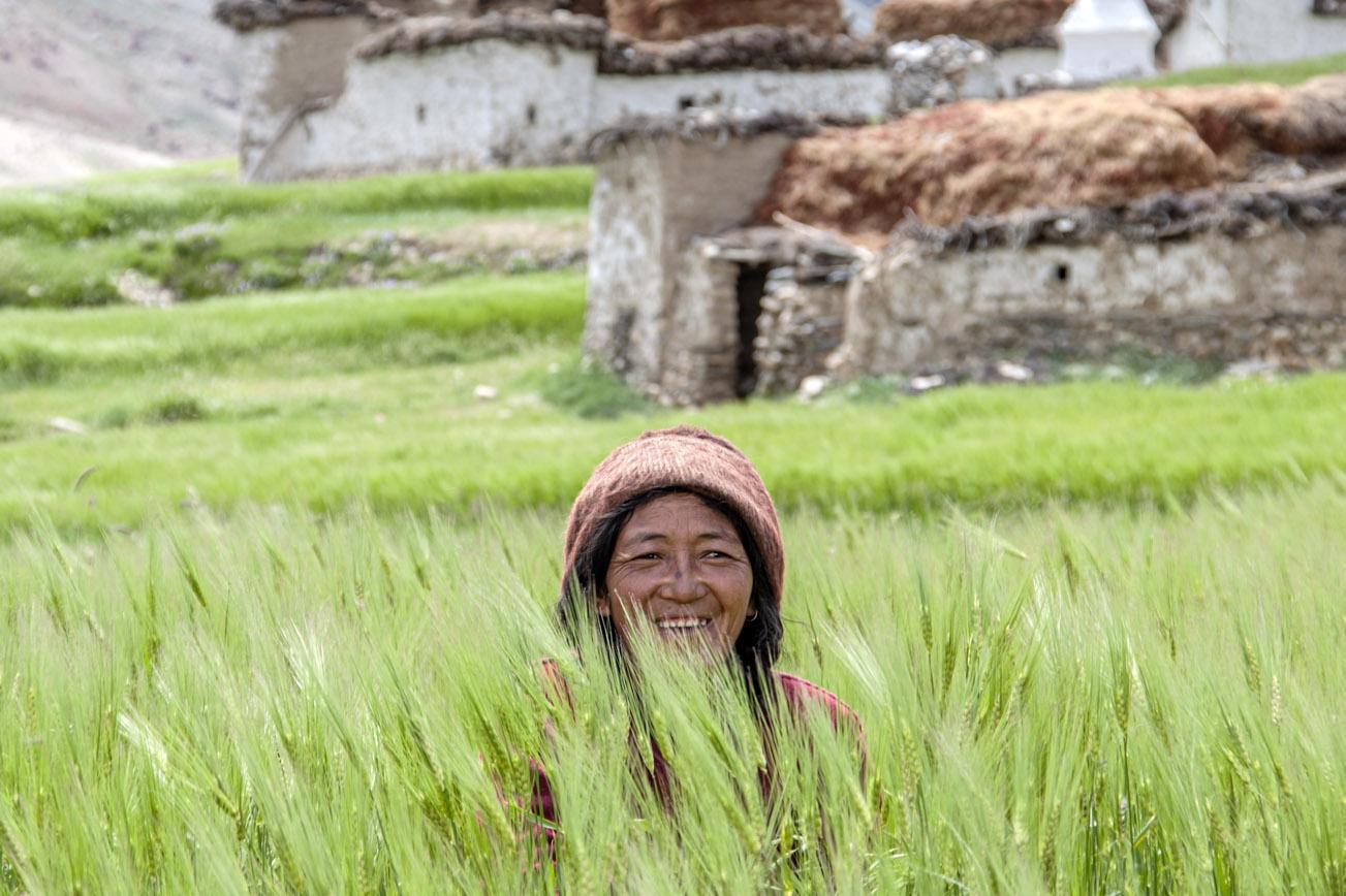 Gerst oogsten in Zanskar vallei
