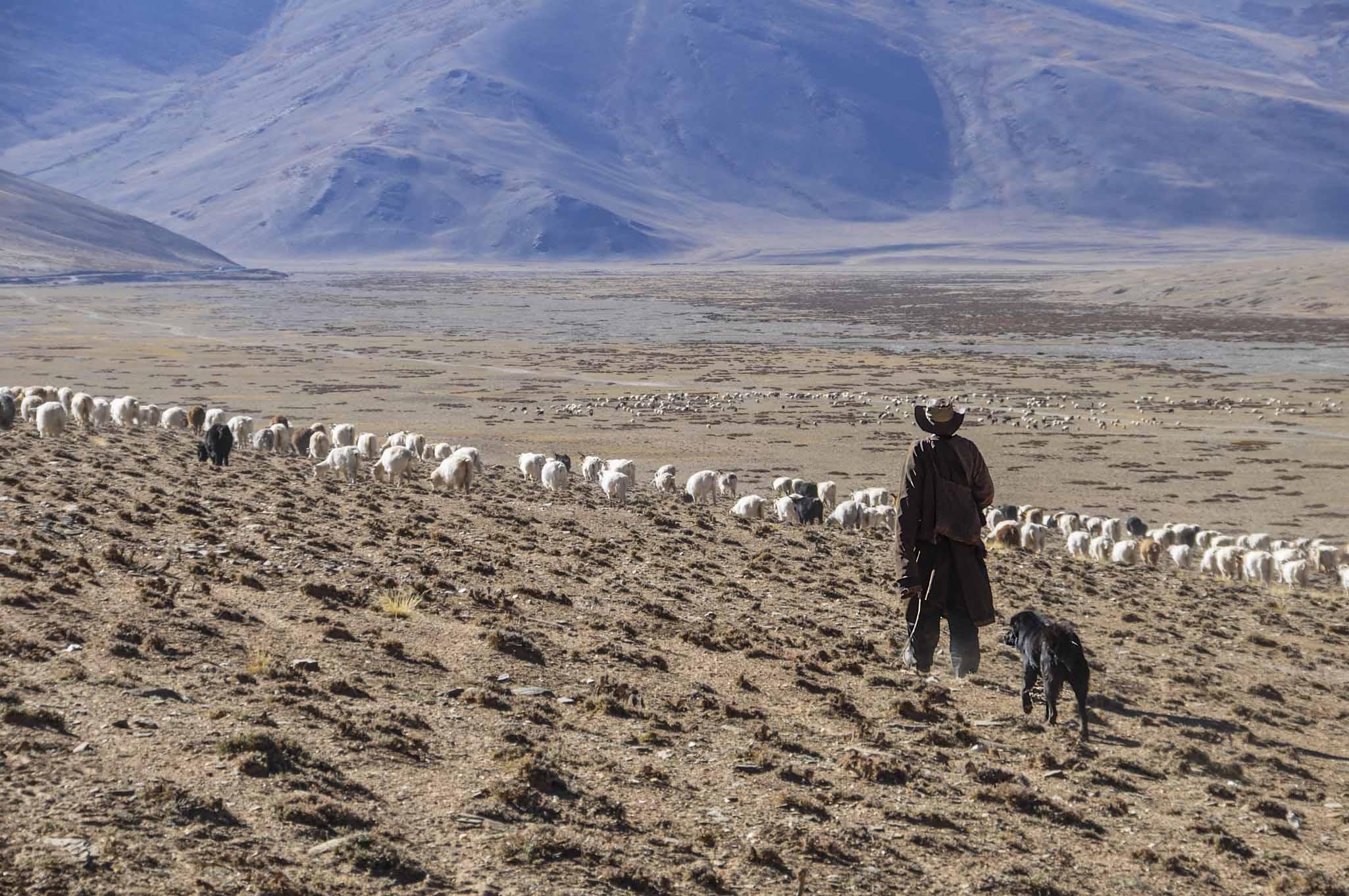 Schaapsherder hooggebergte Spiti vallei